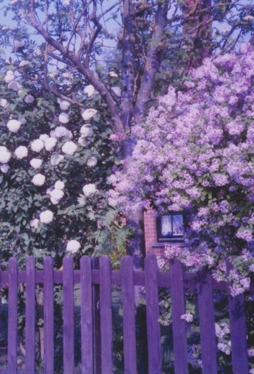 purple fenceColors Purple, Shades Of Purple, Favorite Colors, Picket Fence, Front Yards, Gardens Gates, Purple Passion, Purple Gardens, Purple Flower