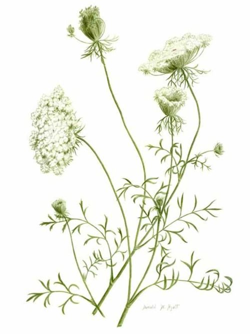 Queen Anne's Lace, Wild Carrot, Bird's Nest or Bishop's lace. It's all Daucus carota (the wild carrot). Family Apiacaea, native in the UK. Edible while young. Crushed seeds of this plant were used by Hippocrates as a form of birth control. In dyes, the flowers give a creamy, off-white colour. Beneficial weed.