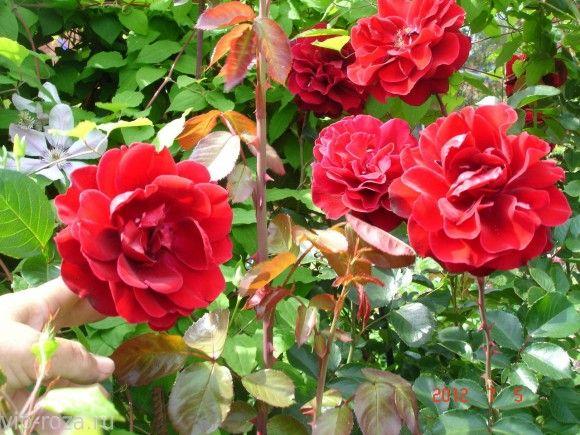 Роза МУСИМАРА (MUSHIMARA) Крупно-цветковый клаймер, Цветки у этой редкой и прекрасной  розы  крупные(8-10 см.), бархатистые, насыщенно красные. Края лепестков волнистые с  почти черным бархатным отливом и с легким запахом. Цветение очень  обильное, непрерывное. Листья темно зеленые, кожистые, блестящие. Очень быстро наращивает длинные красивые побеги, которые хорошо вызревают за подмосковное лето. К болезням  очень  устойчива. Прекрасная  зимостойкость и устойчивость к дождю.