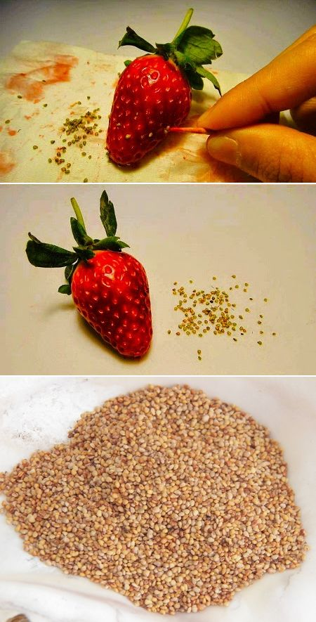 How to Collect Strawberry Seeds #Gardening (My-FavThings)