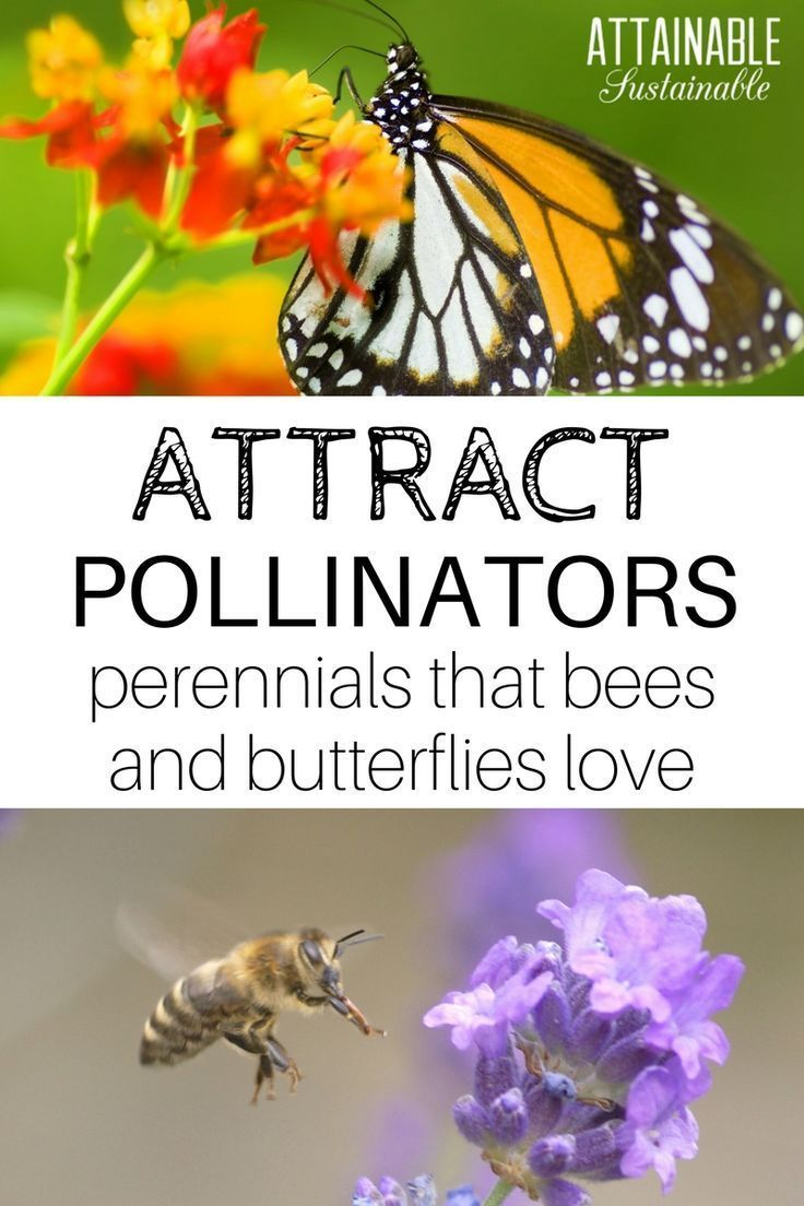 Attract Bees And Other Pollinators To Your Garden With These Flowering Perennials Plant These For The Bees In 2020 Pollinator Garden Attracting Bees Pollinator Plants