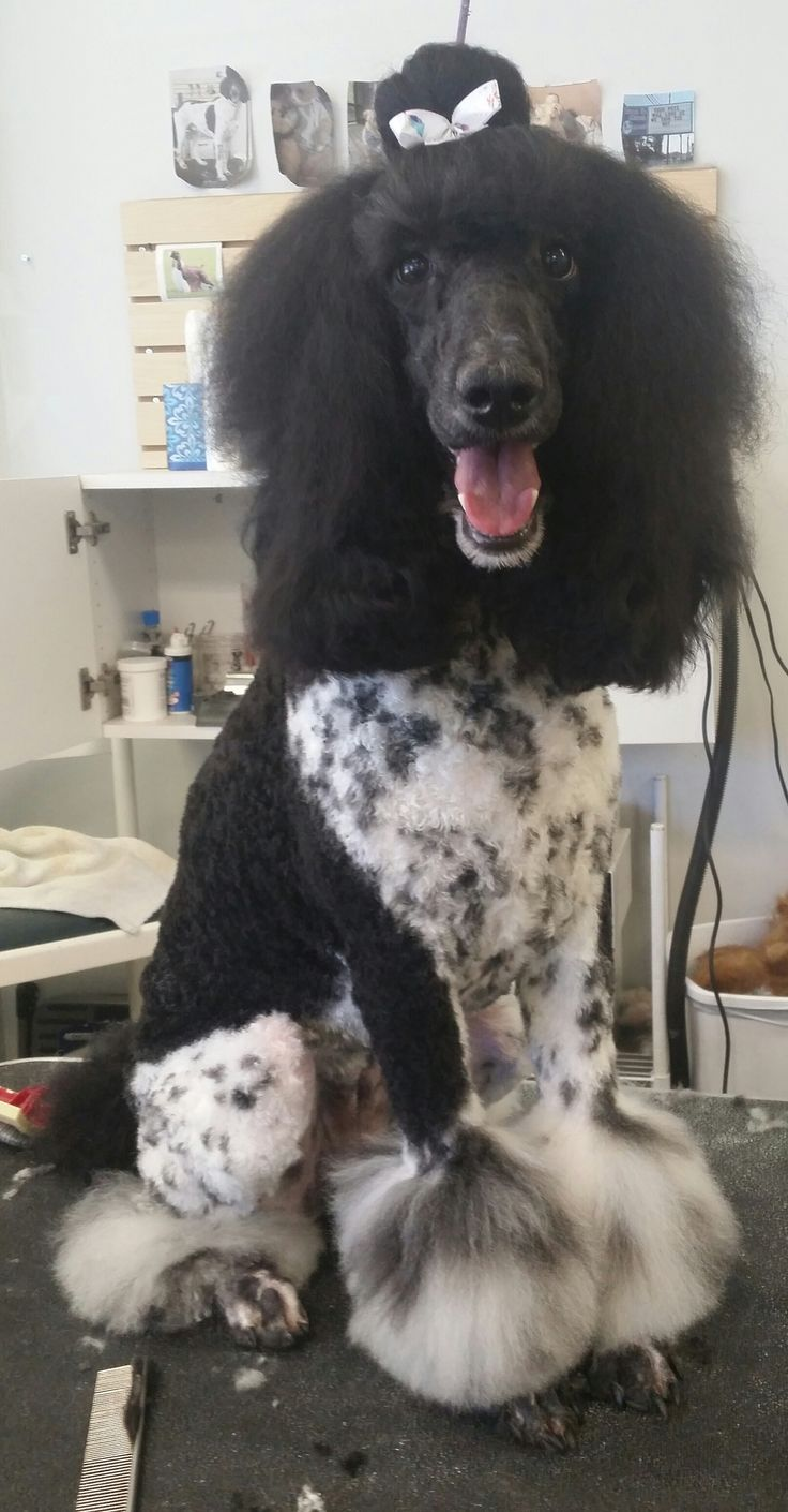 Standard poodle haircuts or of unless soft haircuts standard poodle -  0 O I Almost Forgot To Show Ya Ll Lola S Most Poodle Groomingdog Grooming Shopstandard