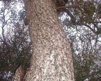 Red Ivory Bark