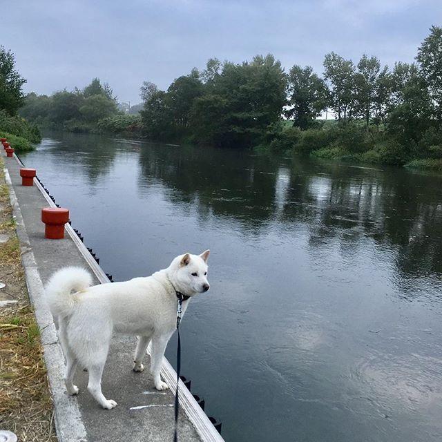 おはよん〜(^ェ^)〜 曇り空の朝ょ〜 いつもの朝のお散歩コース 日の出が遅くなって涼しく、紅葉が近づいて来たねぇー お山の上はもう色付き始めているみたいねぇー お山に行ってみたいねぇ〜(^^) #北海道犬 #日本犬 #アイヌ犬 #犬 #白犬 #わんこ #愛犬 #笑顔 #犬バカ部 #和犬 #天然記念物 #犬散歩 #涼しい #初秋 #アウトドア #保護犬シェルター #殺処分ゼロ #お散歩好き #hokkaidoken #hokkaidoinu #Japaneseken #Japanesedog #ainuken #ainudog #Whiteinu #Likes #outdoor