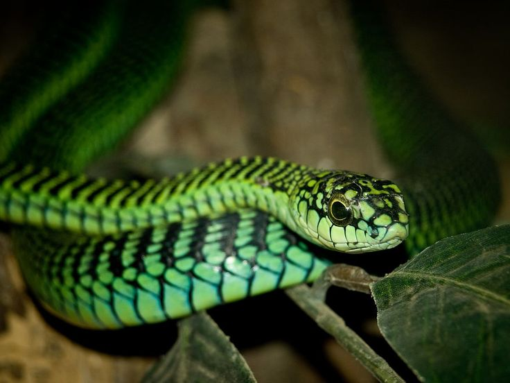 """""""My fav deadly snakes because their names are so cool (Boomslang, Death Adder, Black Mamba, and Jeff) 🐍 #WorldSnakeDay"""""""