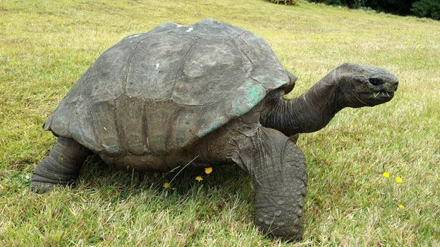 This is Jonathan - possibly the oldest living land creature on earth. At 182 years old, this giant tortoise is virtually blind from cataracts, has no sense of smell - but his hearing is good! He lives on a small island called st. Helena in the middle of the Atlantic. Giant tortoises can potentially live to be 250 years old - so Jonathan may have a lot of life left.