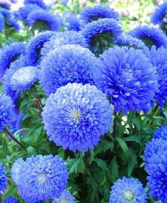 Free Shipping Blue China Aster Flower Seeds Callistephus Fresh 60