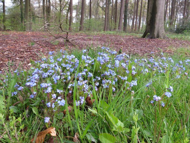 2016-04-24 Mooie bos vergeetmijnietjes nabij kasteel Hackfort