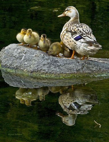 . picturesque scene: mother duck and ducklings on a rock making a beautiful reflection on the lake