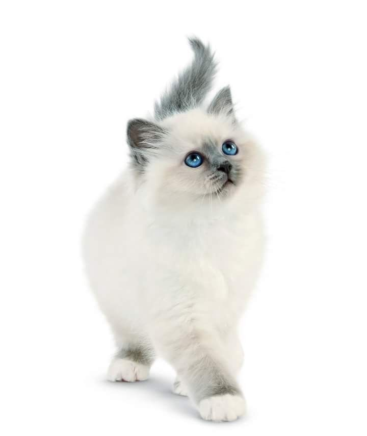 Ragdoll Cats Facts In 2020 Pretty Cats Cute Cats Beautiful Cats