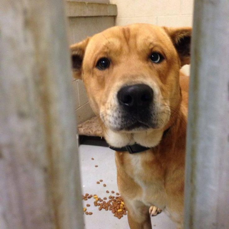 URGENT- EUTH ALERT FOR ZEKE IN PACKED GASSING SHELTER Yellow Labrador Retriever & Husky Mix • Young • Male • Medium For The Love Of Dogs Downingtown, PA