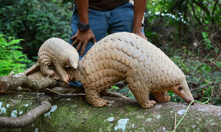 Rare Sunda Pangolin born at Wildlife Reserves Singapore! Learn more: http://www.zooborns.com/zooborns/2014/10/rare-sunda-pangolin-born-in-singapore.html