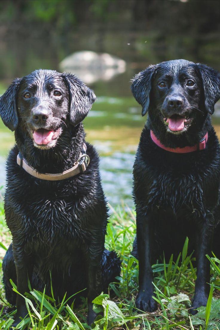 Golden Retriever VS Labrador Retriever VS German Shepherd