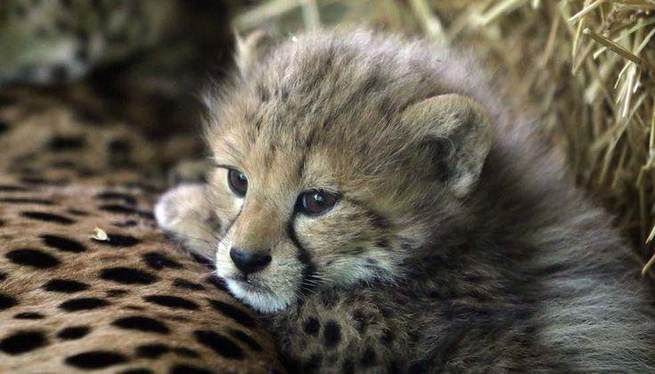 Uno dei tre cuccioli di ghepardo nati lo scorso 16 aprile nello zoo Schoenbrunn di Vienna, Austria