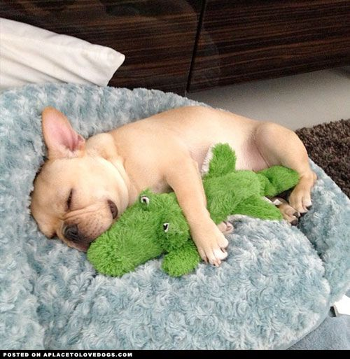 Sweet sleepy French Bulldog Obi-Wan spooning with his gator on a lazy Sunday morning @frenchieobiwan For more cute dogs and puppies: