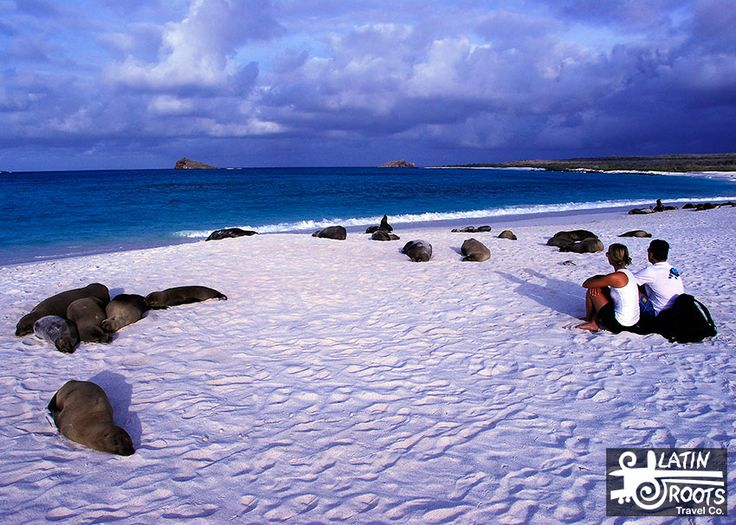 Your chances of seeing a Galapagos sea lion are pretty good because they rarely travel more than 16 km away from the shore.   And they prefer flat rocky areas and sandy beaches, like we do. They also like to rest on benches or chairs near the water. That makes for some great photo opportunities.   10 Awesome Facts About Galapagos Sea Lions | Latin Roots Travel (Ecuador)
