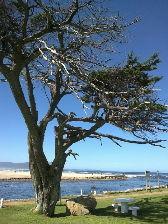 """witness of ages""..old tree at Kleinmond, South Africa"