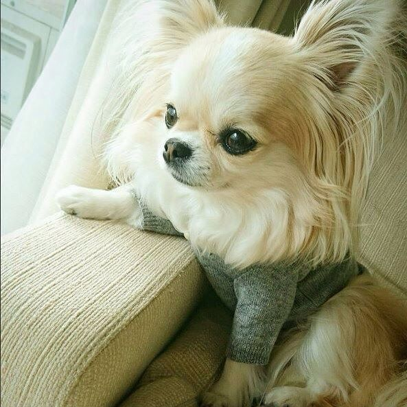 Chihuahua (@chihuahuastagrams) • Instagram photos and videos #Chihuahua