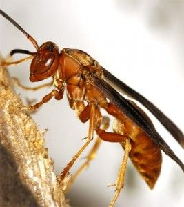 Ways to get rid of Red Wasps