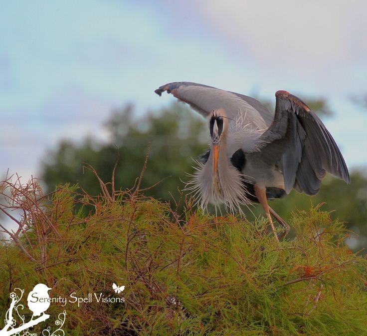 Great Blue Heron, Florida Wetlands