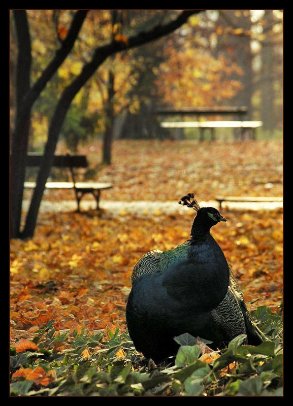 Autumn Peacock, Warsaw, Poland
