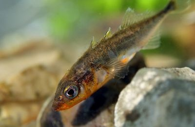 Three-spined stickleback.  Fascinating spawning rituals!