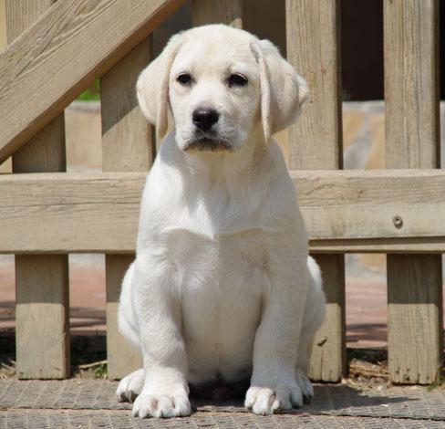Aprenda a adestrar o seu amigo de quatro patas mais fofo! #labrador #cachorro #animais