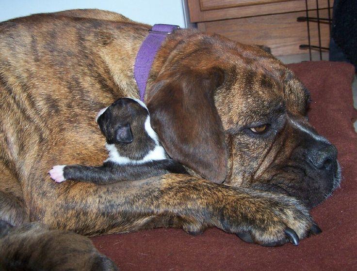 : Animal Pics, Animal Funnies, Baby Boxers Dogs, Big Boys, Awwwww Cuddling, So Sweet, Dogs Photo, Big Dogs, Adorable Animal