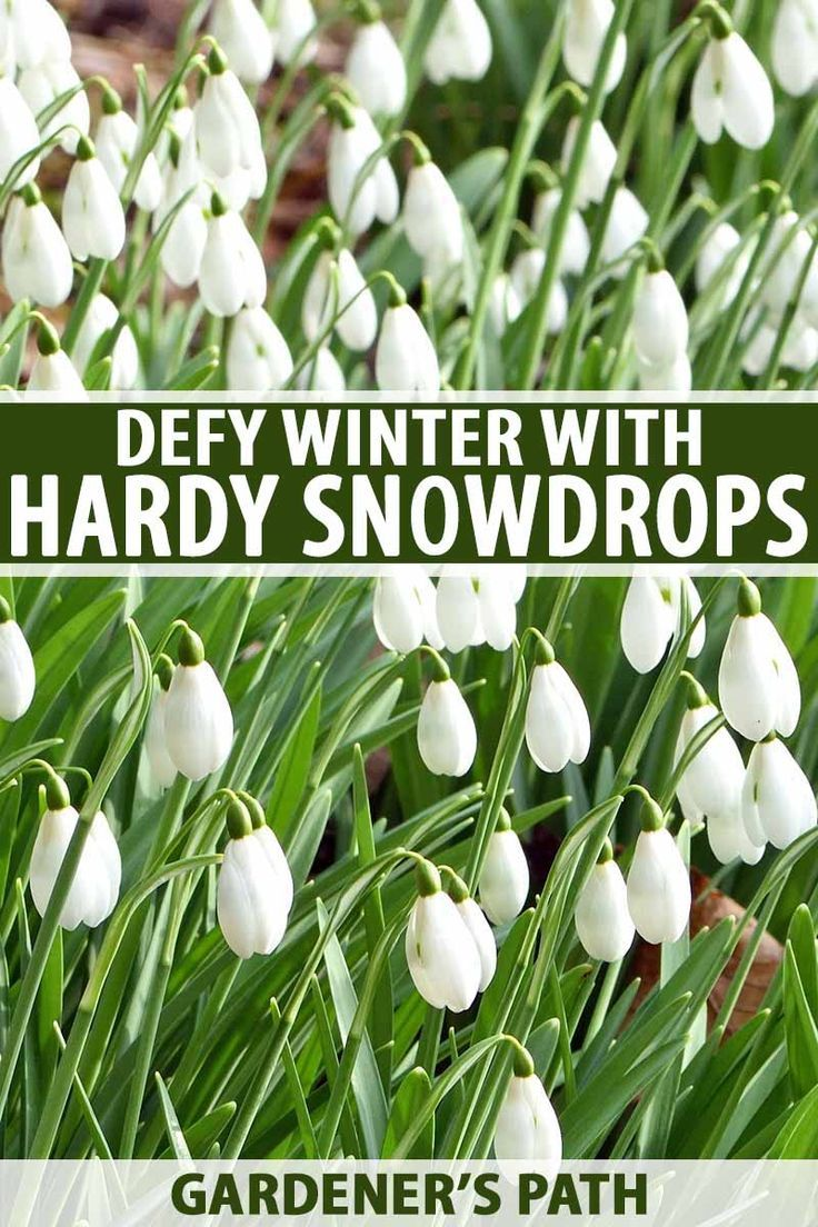 How To Grow Snowdrop Flowers Galanthus Beautiful Flowers Garden Plants Spring Garden Flowers