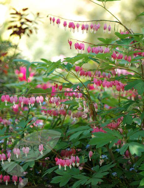 Löjtnantshjärta, Lamprocapnos spectabilis. Trivs i halvskugga, medelvattning, blir 75 cm hög och blommar maj-juni. Ogillar att flyttas.