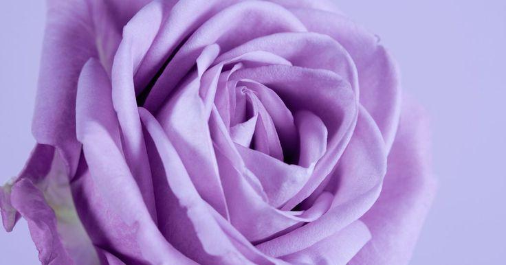 Tipos de rosas roxas ou negras. A singularidade das rosas roxas ou negras as torna muito atraentes. As flores escuras chamam atenção entre as mais claras em um jardim, criando profundidade.