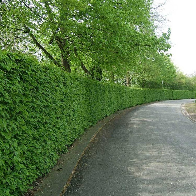 Common Beech hedge, for sun or shade.
