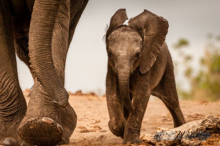 Baby elephant keeping up with the pace of the herd enroute to the waterhole ©inXSWildlife #inxswildlife #wildlifephotography #elephant #wildlife #keepingupthepace #bigfive