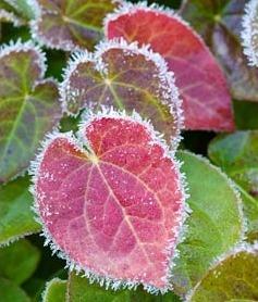 Epimedium versicolor 'Sulphureum'. Winter foliage with hoar frost