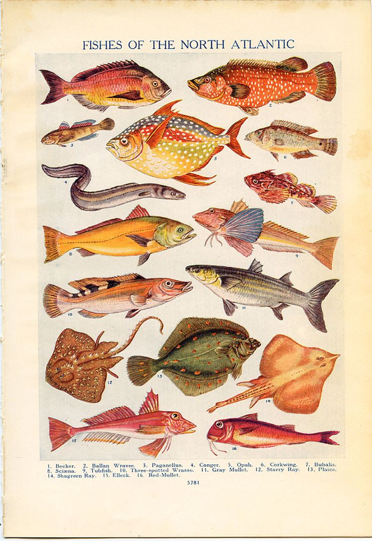 75 best FisH images on Pinterest | Marine life, Fish and Fish drawings