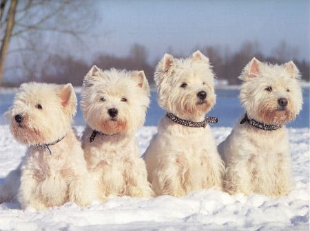 west highland terriers in snow.   vancouver has an annual westie walk . hundreds of westies come with lots of events.