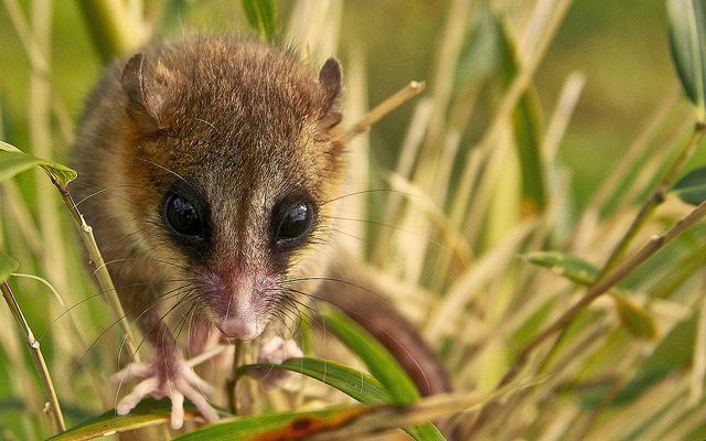 The Monito del Monte is the only living species of the  Microbiotheriidae.