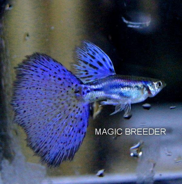 beautiful fantail guppy my aquarium fish freshwater
