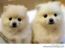 double trouble!: 3 Months, Cute Baby, Polar Bears, Pomeranians Puppies, Pompom, Pet, Pom Pom, Fluffy Puppies, Animal