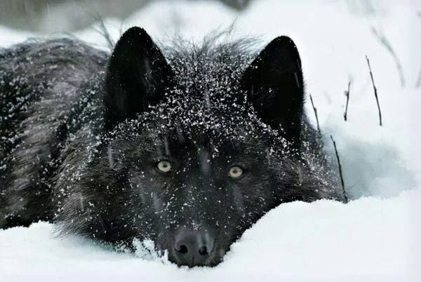 20 Beliefs, Myths and Facts About Wolves You May Never Have Heard About