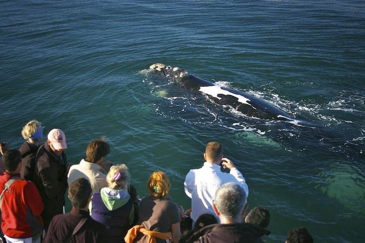KENNDYS BEACH VILLA has a special relationship with Southern Right Whales Cruises - come and enjoy these creatures of the wide ocean here at Hermanus!