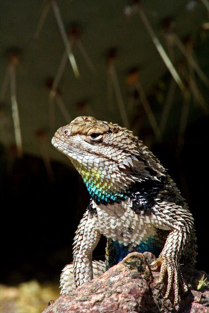 Desert spiny lizard....love the cactus in the background