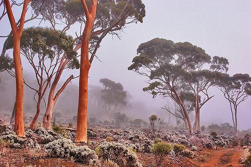 Salmon Gums (Eucalyptus salmonophoia) are native to Western Australia. Other common names include Woonert & Wuruk.