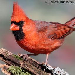 Find out about Cardinal birds, and ways to attract nesting Northern Cardinals to your yard with the right types of bird foods, plants and more.