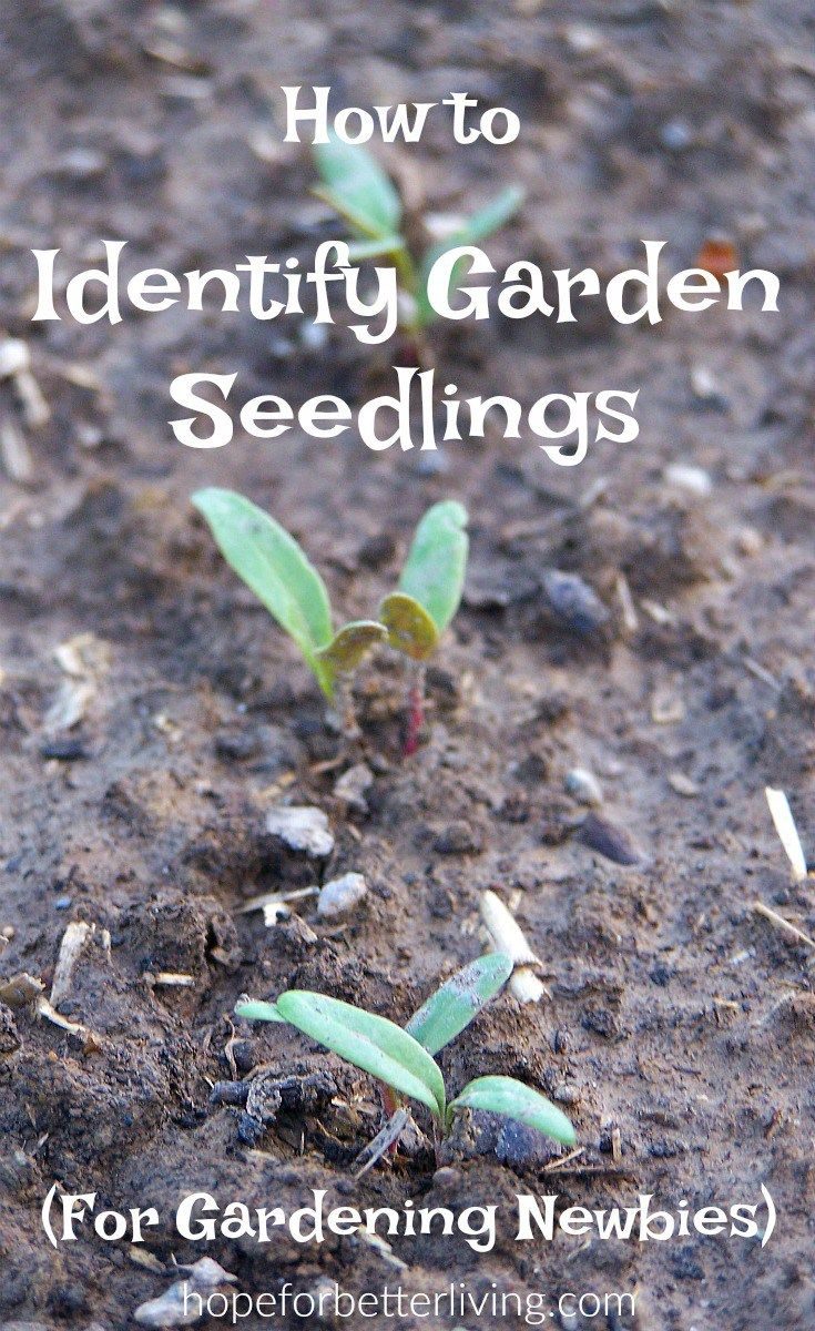 Weeds in flower beds identify - How To Identify Seedlings In The Directly Sown Vegetable Garden