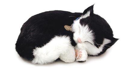 Black & White Dom. Shorthair