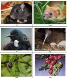 STUDENT ACTIVITY - New Zealand bush ecosystems | In this activity, students build a food web that represents the New Zealand bush ecosystem. Students use images of organisms within the ecosystem to explore the relationships between them.