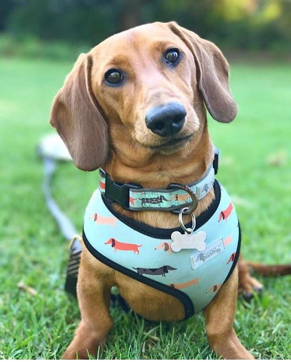 Dachshund Accessories For Dogs Dog Harness Dachshund Dog