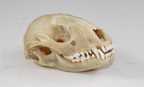 Raccoon Skull by SpiritBayTrading on Etsy