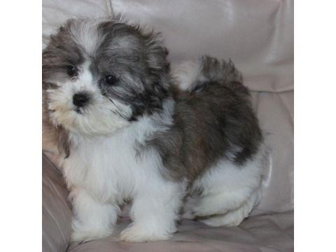 Teddy Bear Puppy (Bichon Frise/Shih Tzu)